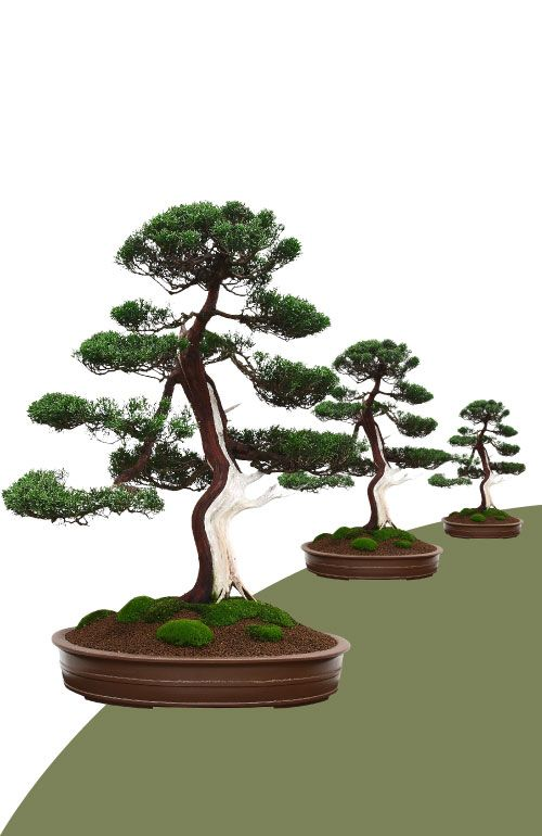 Bonzai Luxury Natural Stabilized on Quotation